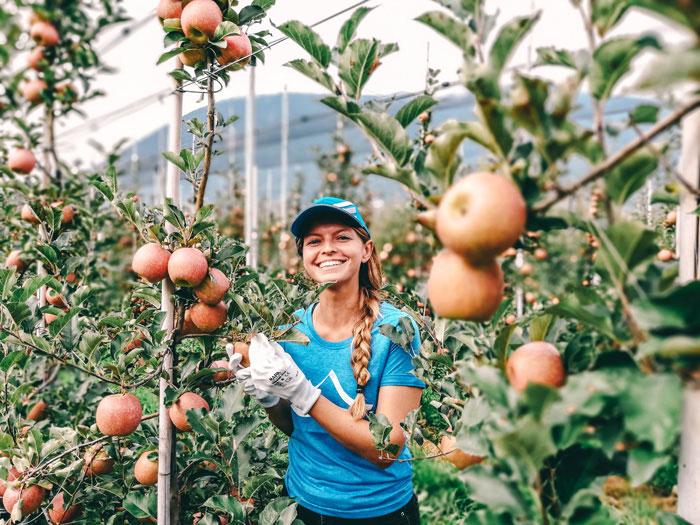 Südtiroler Apfelernte
