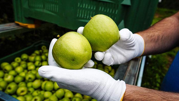 Apfelernte Dellen