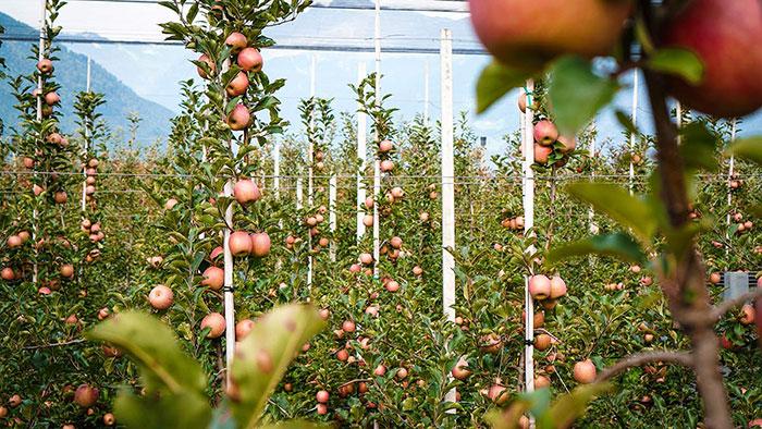 Apfelernte Plantage