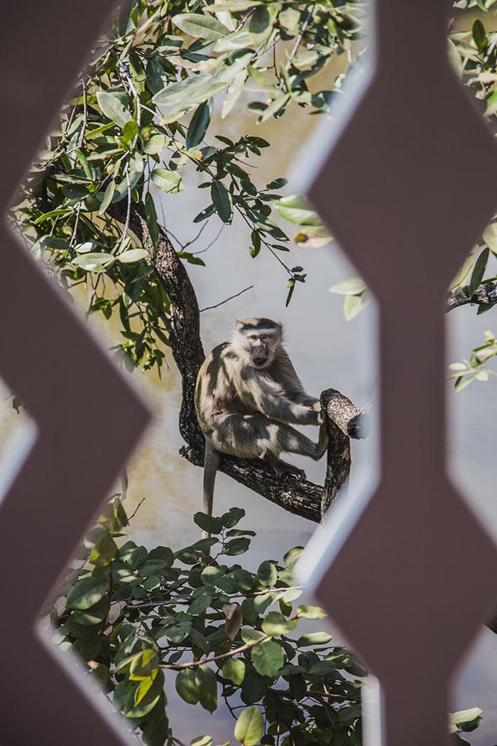 Freche Affen Sambia