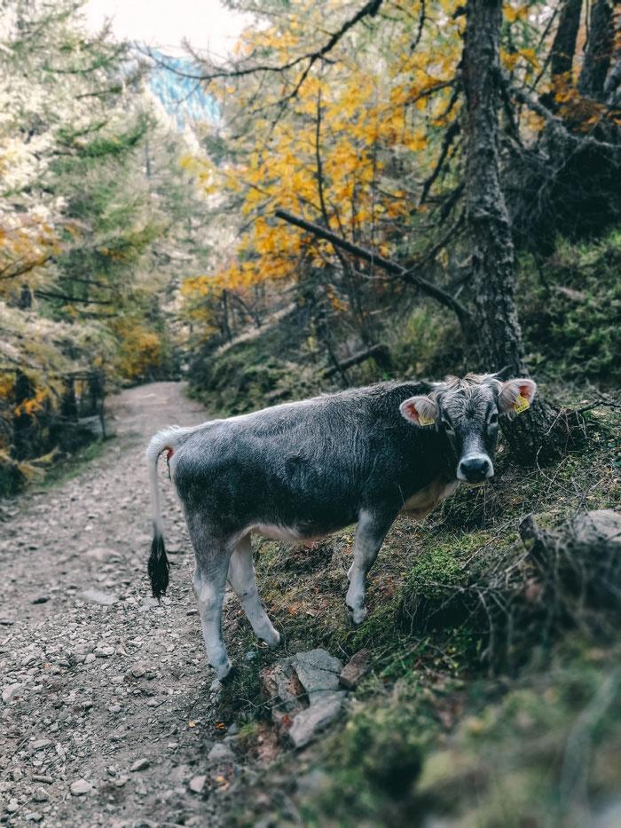 Kuh im Wald