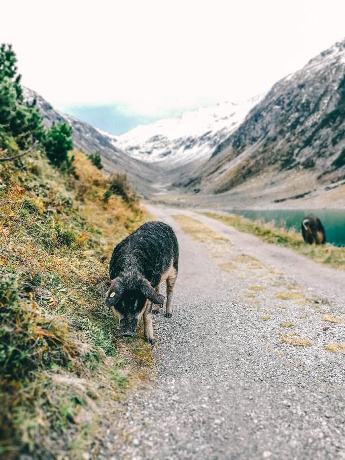 schwein in klein tibet