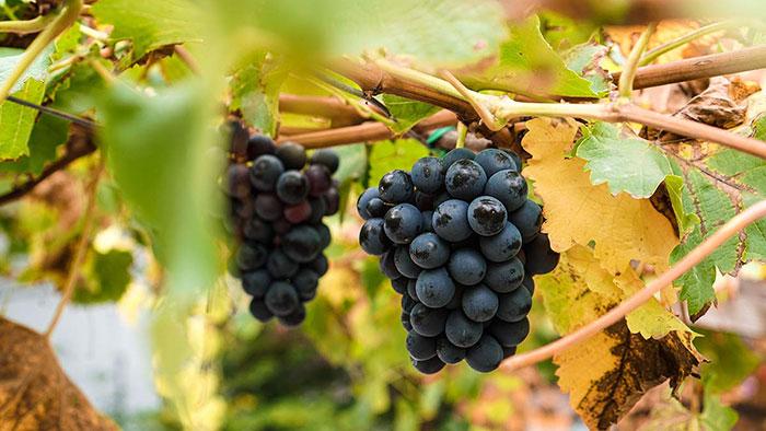 Weinverkostung Weintrauben