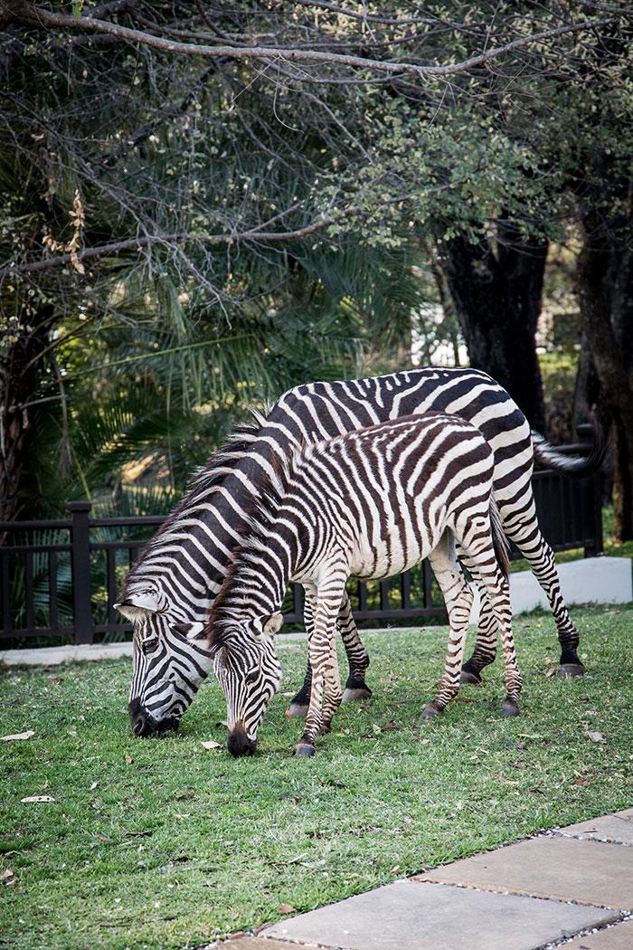 Zebras Sambia