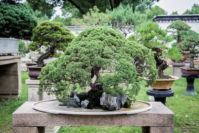 Bonsai Baum in Garten des Bescheidenen Beamten Suzhou