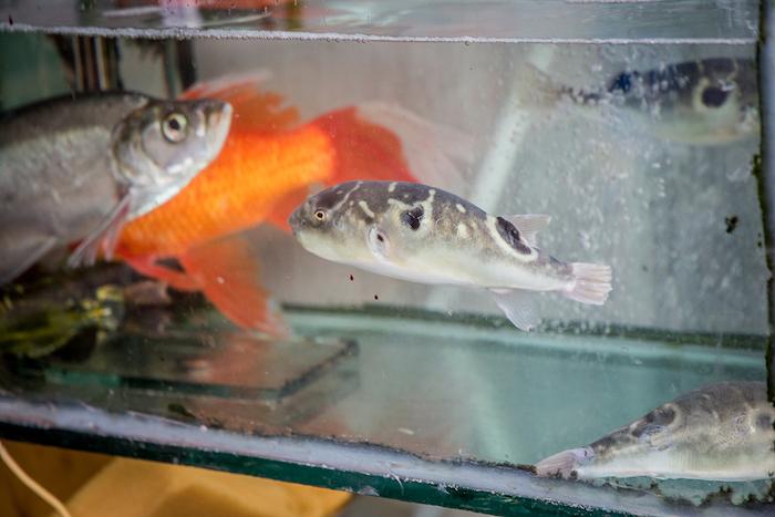 Kugelfisch in Zhouzhuang