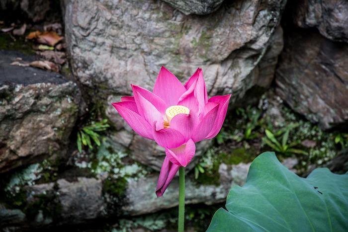 Lotusblume im Garten des Bescheidenen Beamten Suzhou