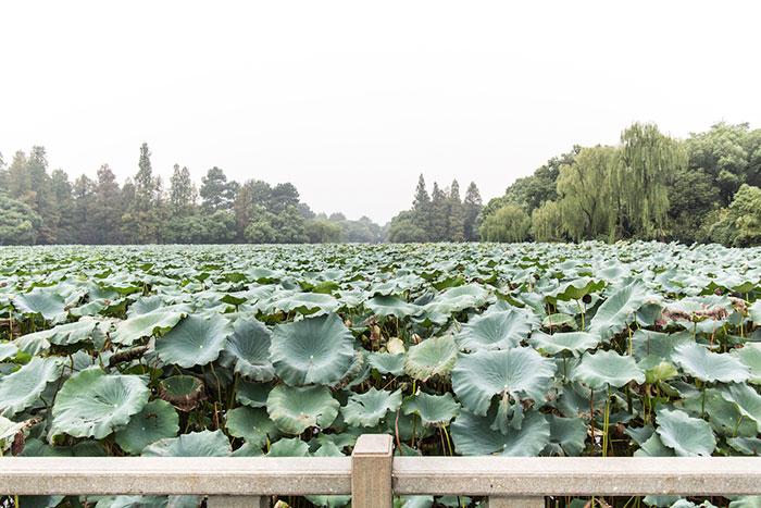 Lotuspflanzen Westsee Hangzhou