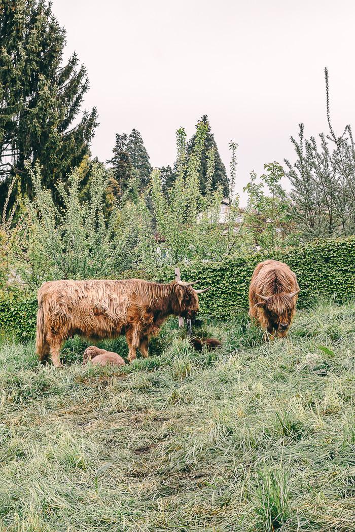 Rinder auf einer Wiese in Luzern