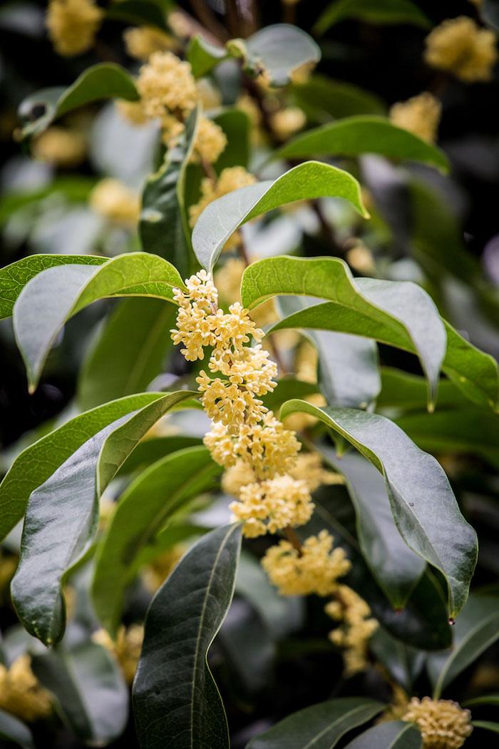 Osmanthus Baum