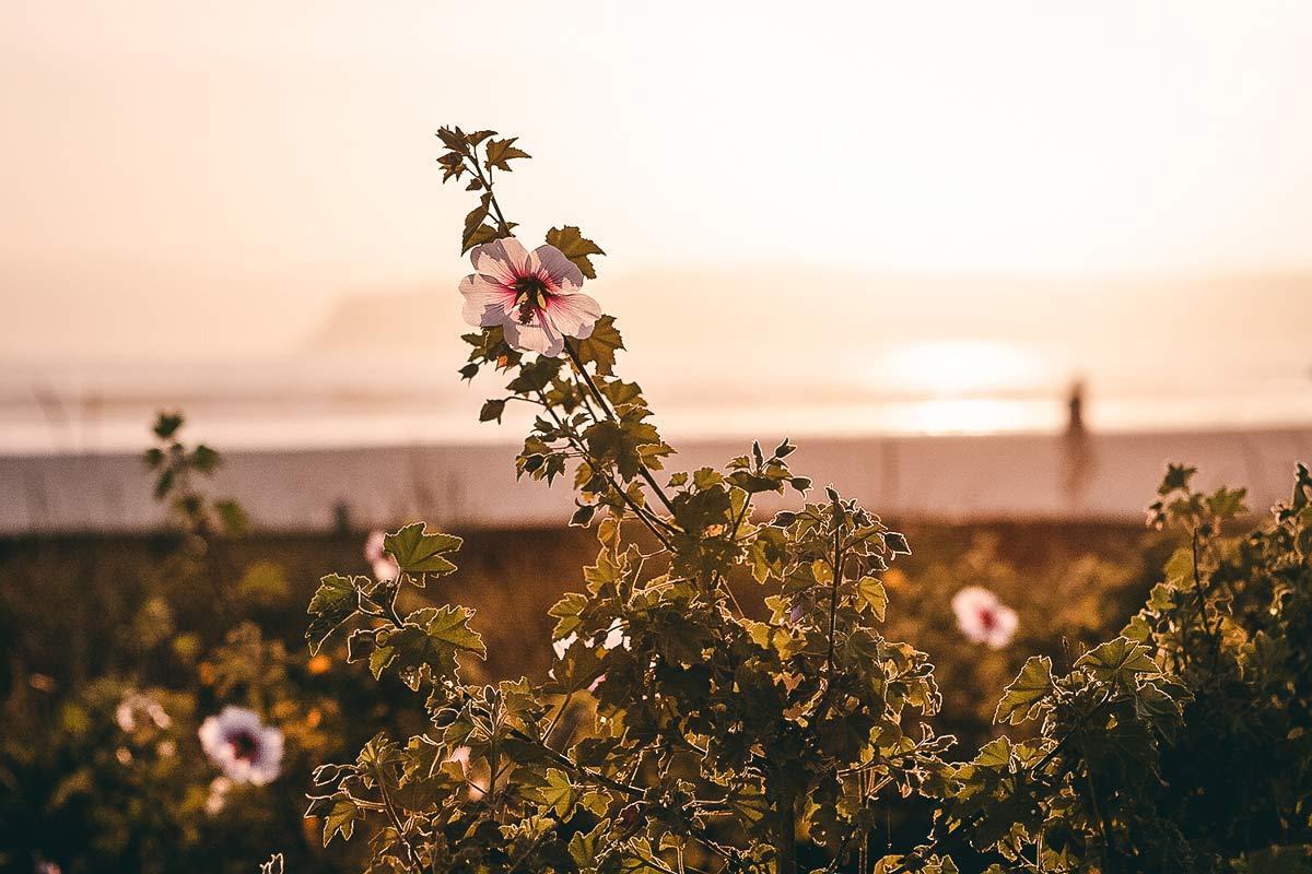 Coronado Blumen