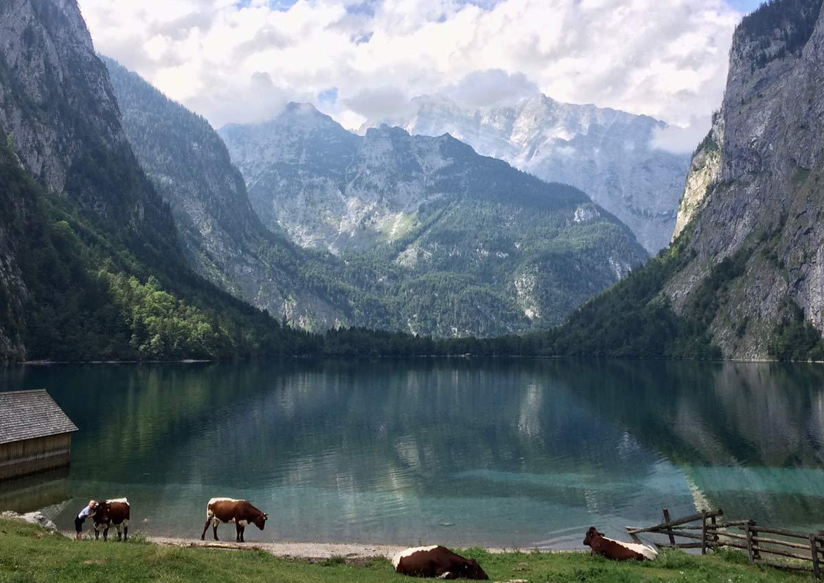 Obersee Kühe