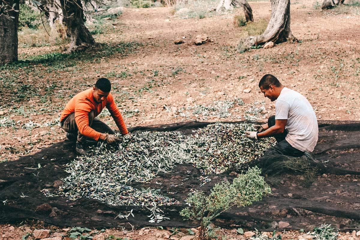 olivenernte mallorca