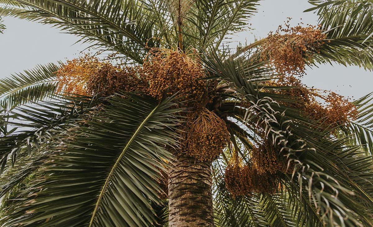palmen mallorca