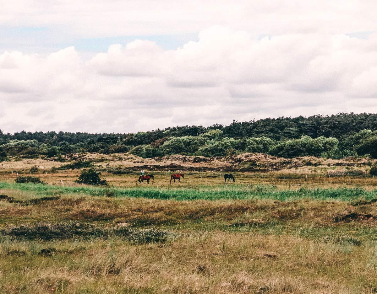 Pferde auf Terschelling