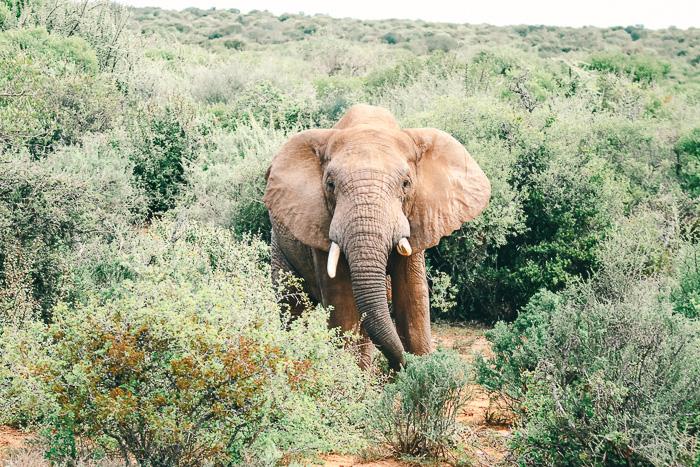 Kap-Elefant im Addo Elephant Park