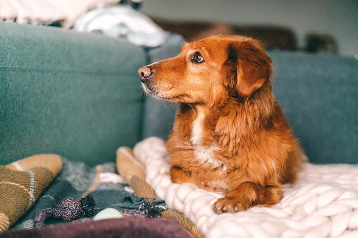 Hund Boris