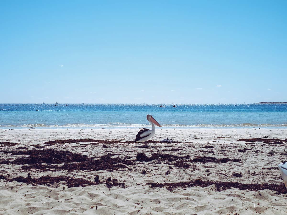 Pelikan Coral Bay Australien