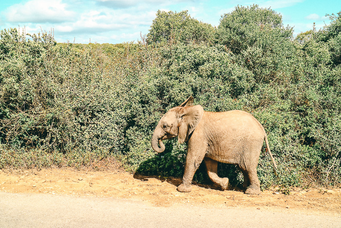 Baby-Elefant im Addo Elephant Park