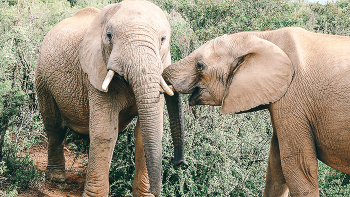 Zwei Elefanten im Nationalpark Südafrika