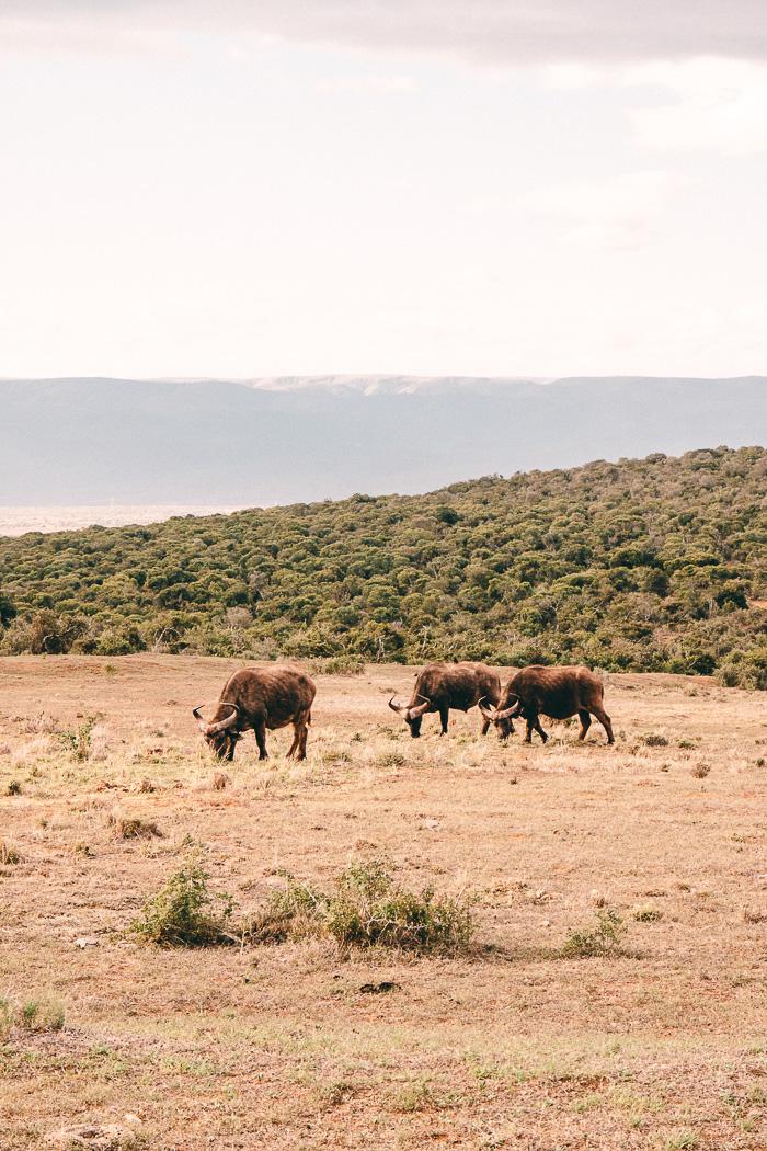 Eine Herde Büffel im Addo Elephant Park