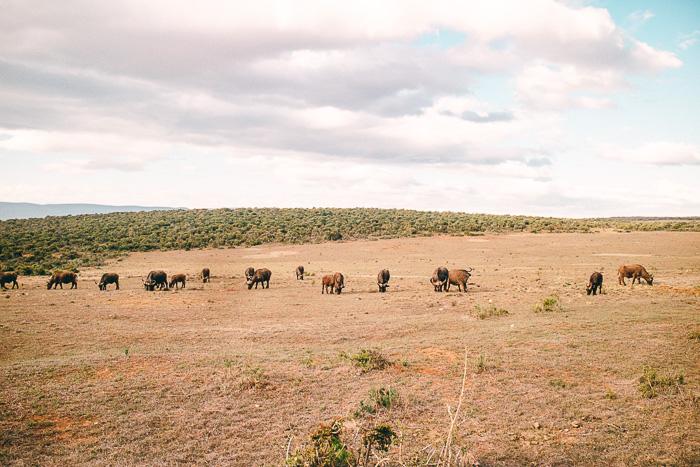 Büffel im Addo Elephant Park