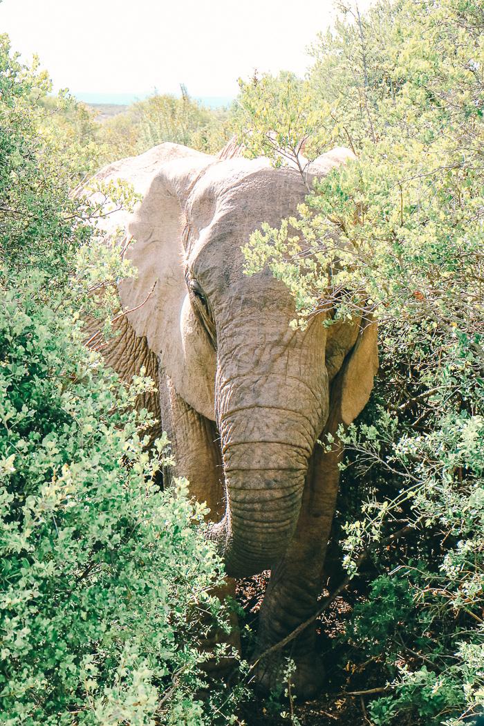 Elefant im Addo Elephant Park