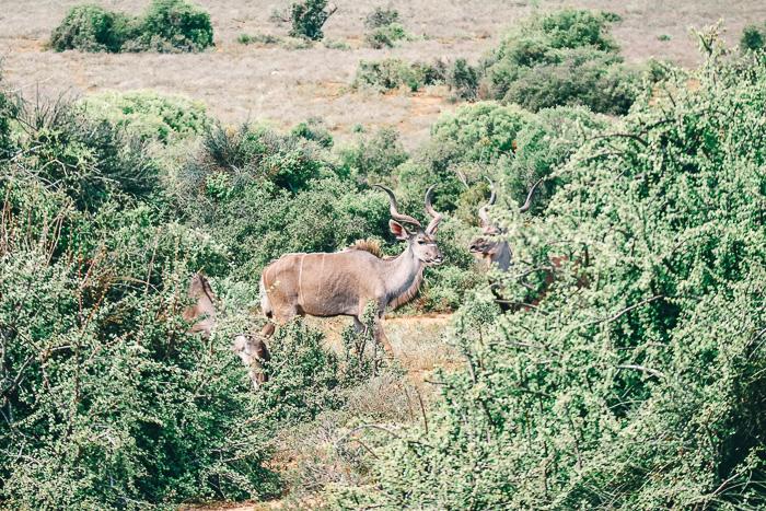 Antilope im Addo Elephant Park