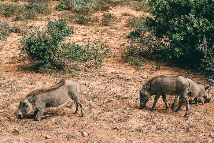 Warzenschweine im im Addo Elephant Park