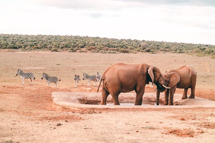 Zebras und Elefanten im Nationalpark Südafrika