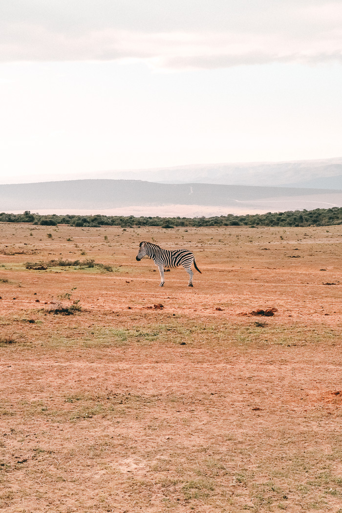 Zebra im im Addo Elephant Park
