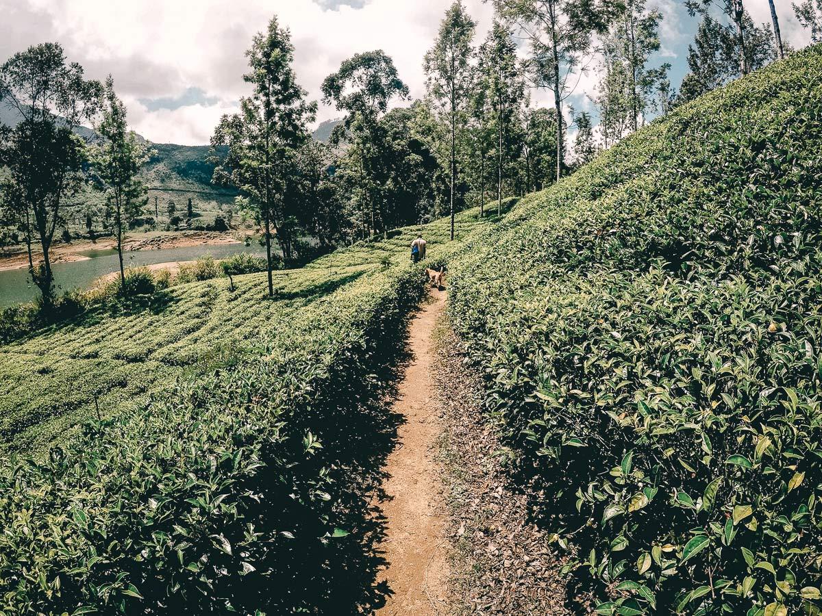Adams Peak Teeplantage