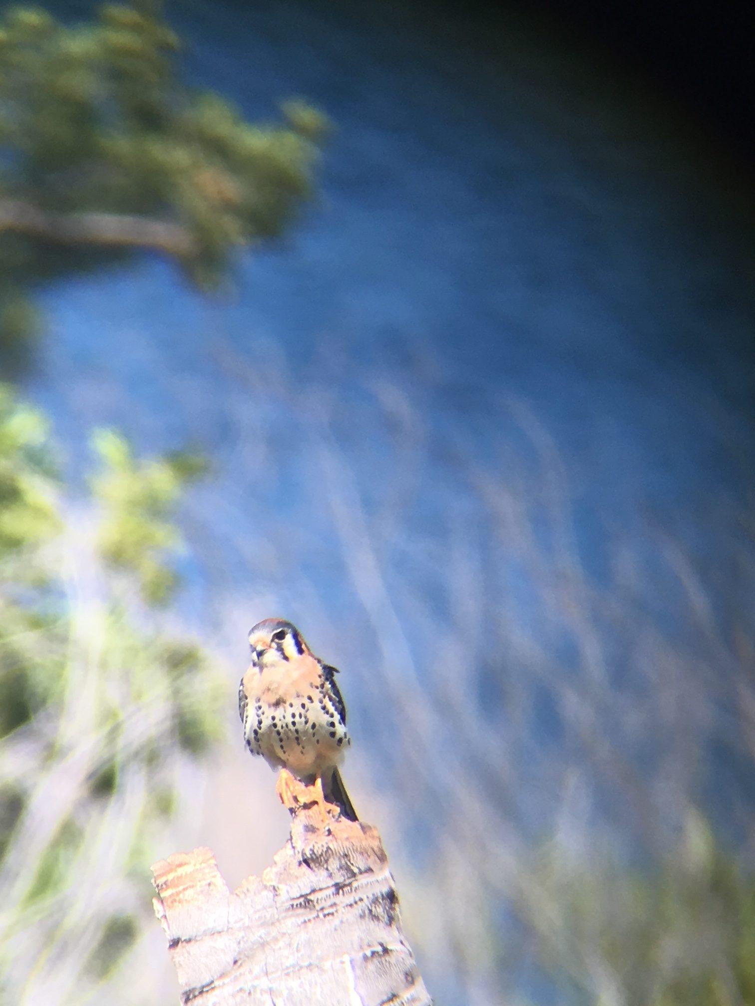 Falke auf Dominica