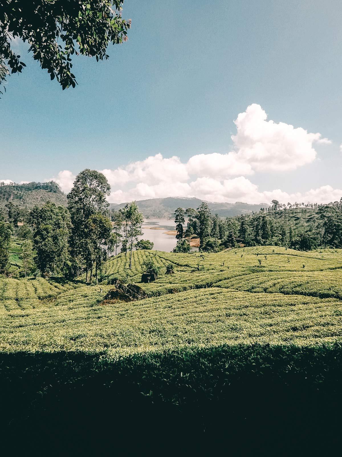 Felder von Sri Lanka