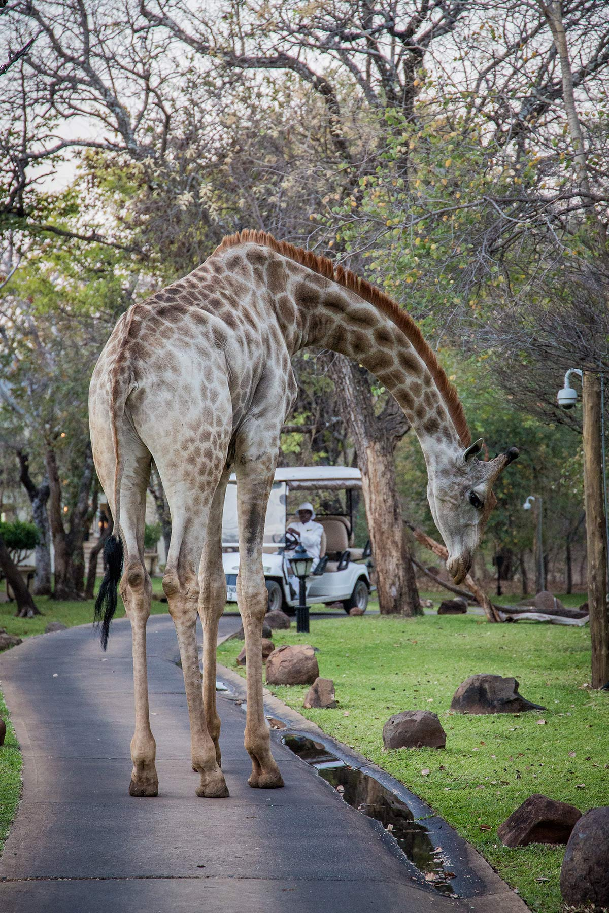 Giraffe im Royal Livingstone Sambia