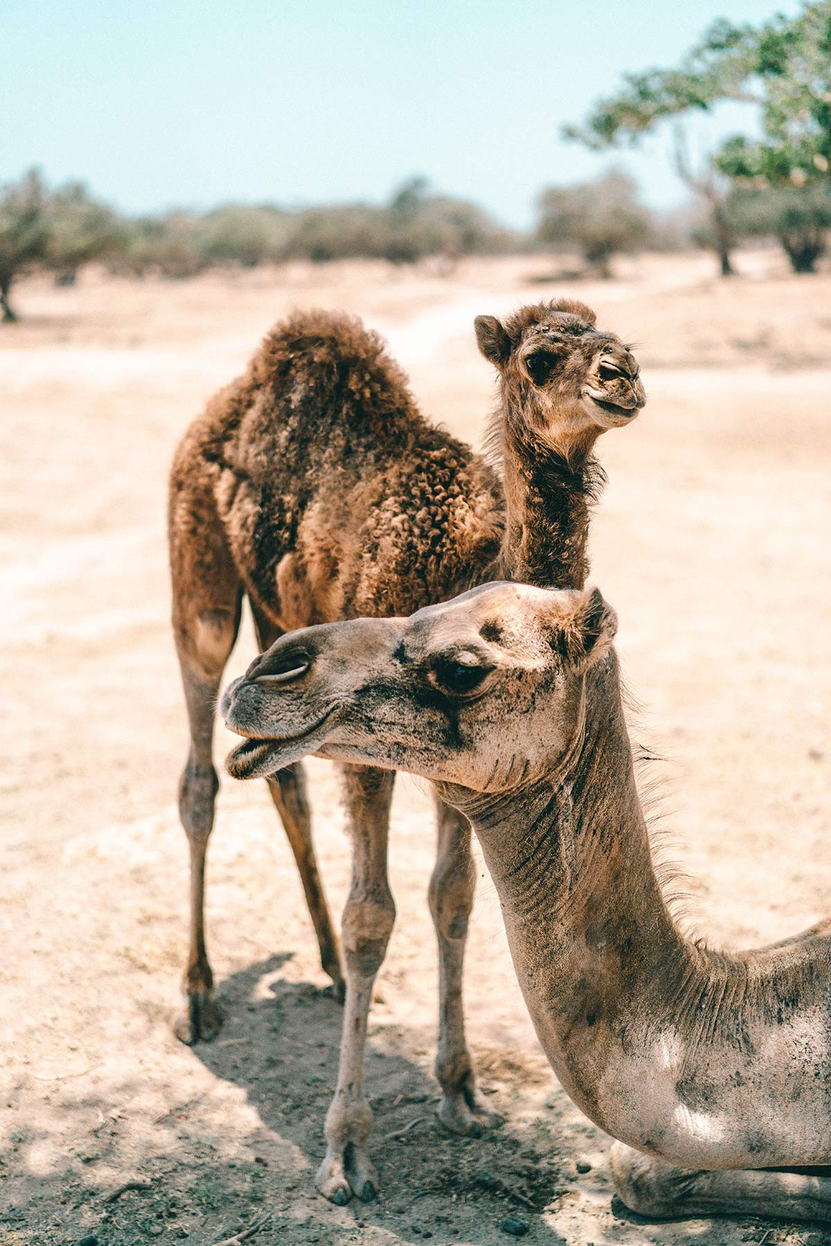 Kamele Oman