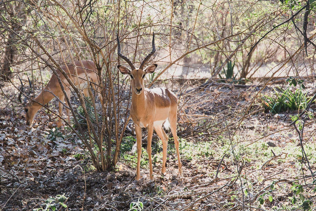 Neugierige Impalas in der Hotelanlage des Royal Livingstone Victoria-Falls Zambia