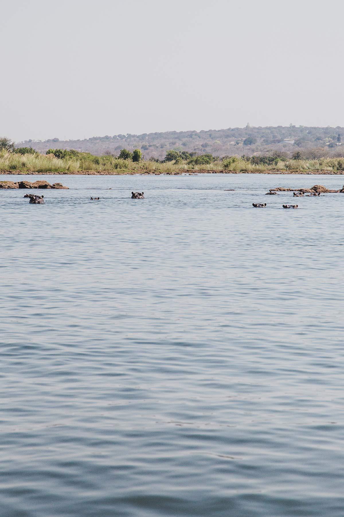 Nilpferde im Sambesi Sambia