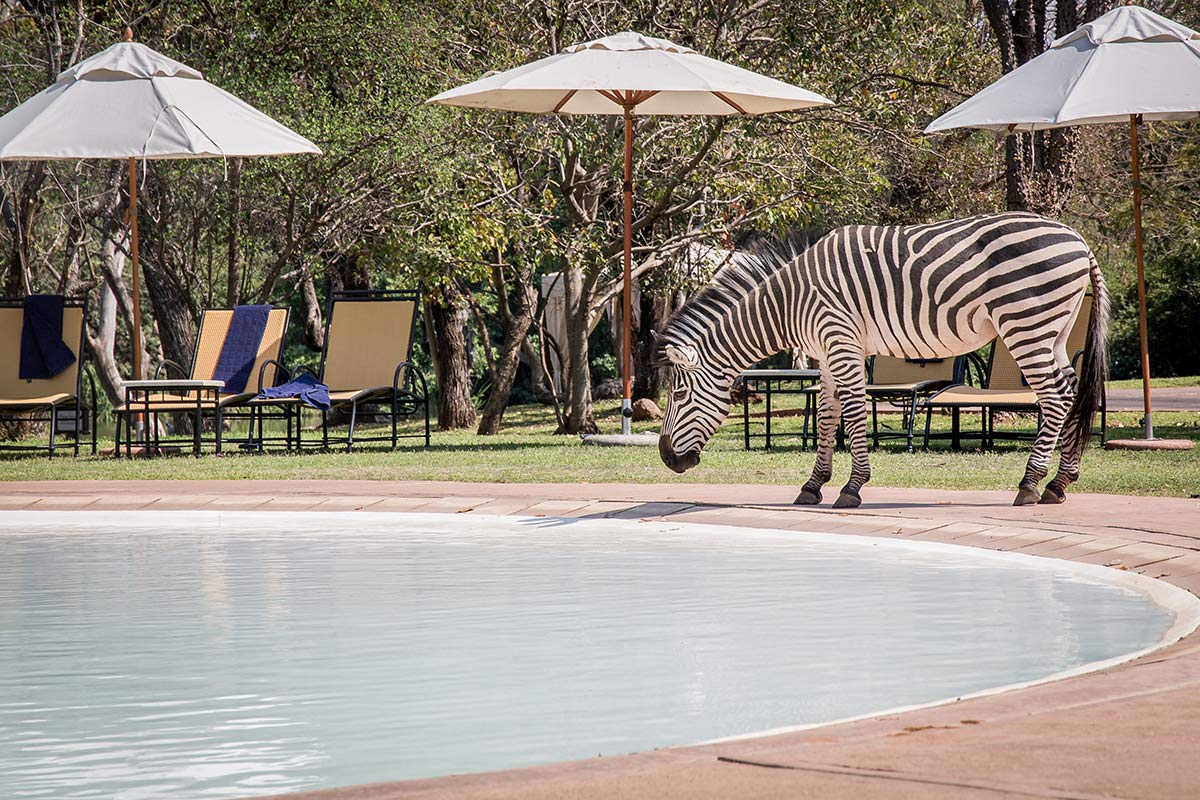 Zebra am Pool im AVANI Victoria Falls Resort