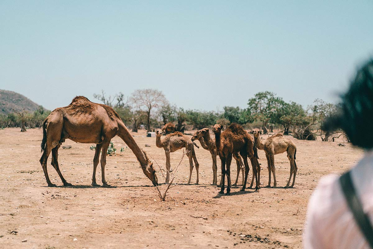 Oman Kamelherde