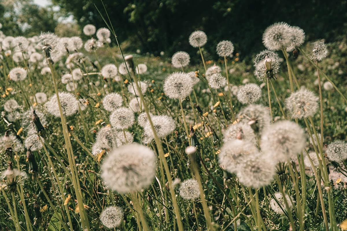Blumenwiese Pusteblumen