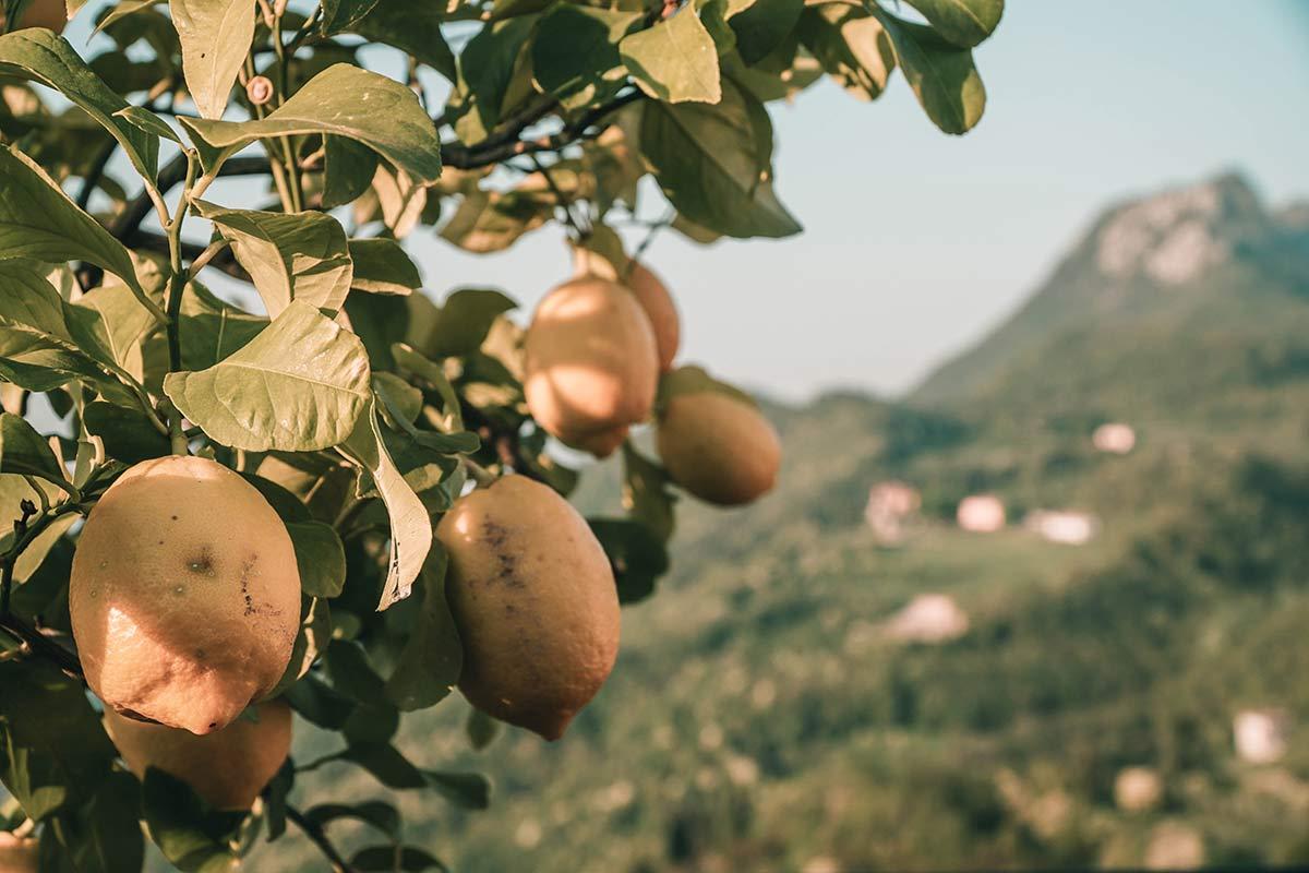 Zitronenbaum Gardasee