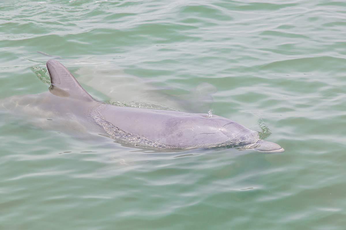 Delfine in den Everglades