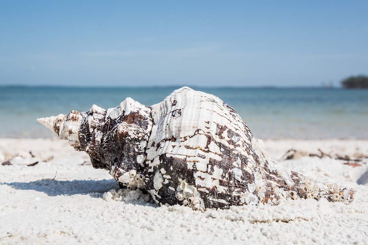 Muschel auf Rabbit Key in Florida