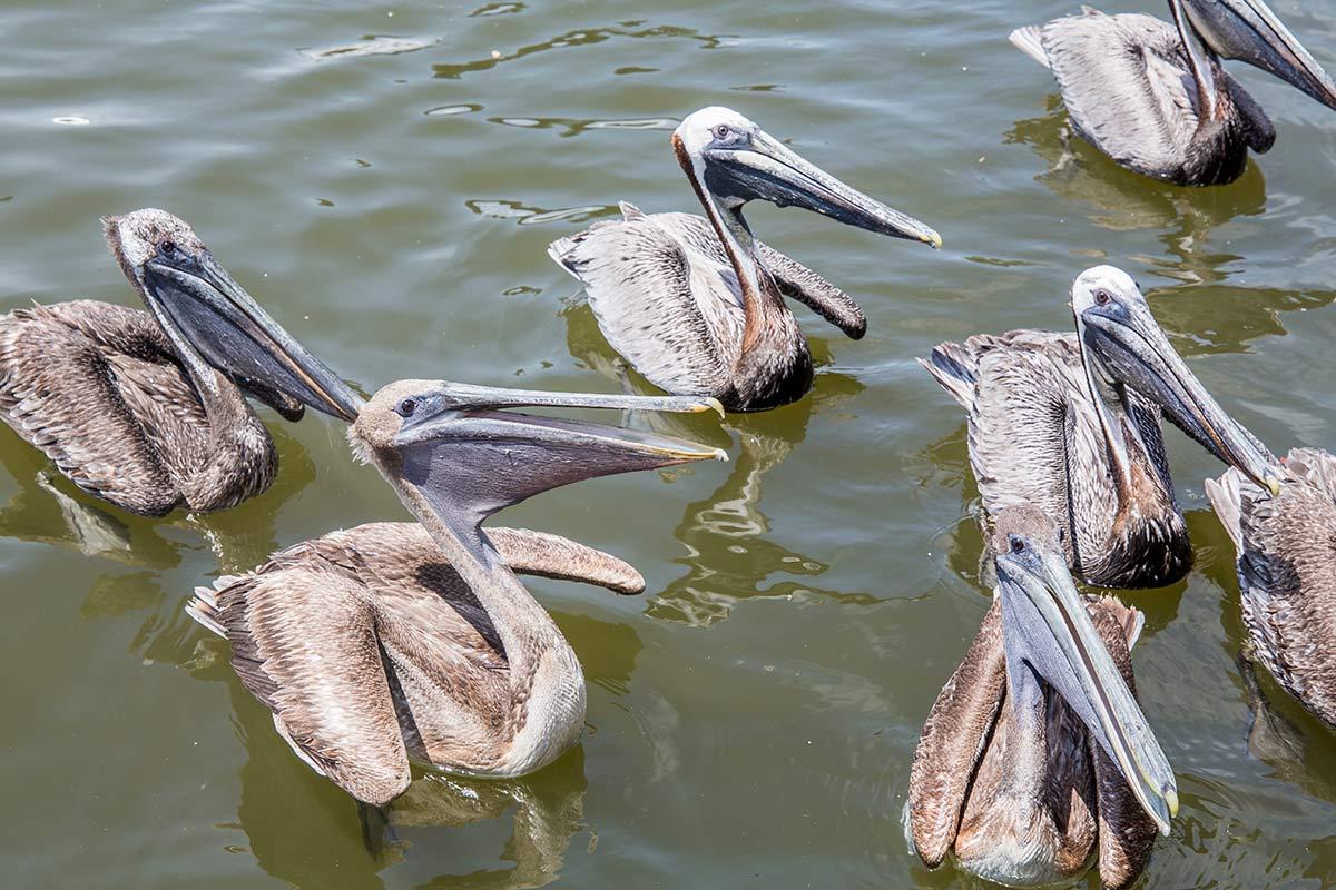 Pelikane am Dock von Tin City