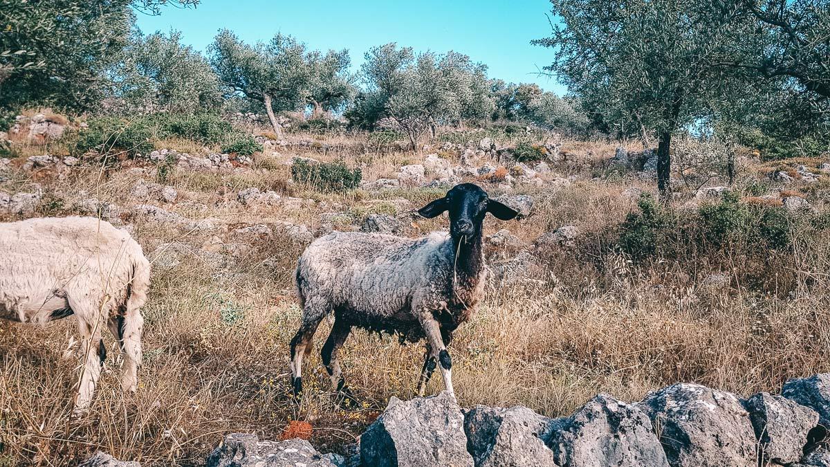 Schafe in Griechenland