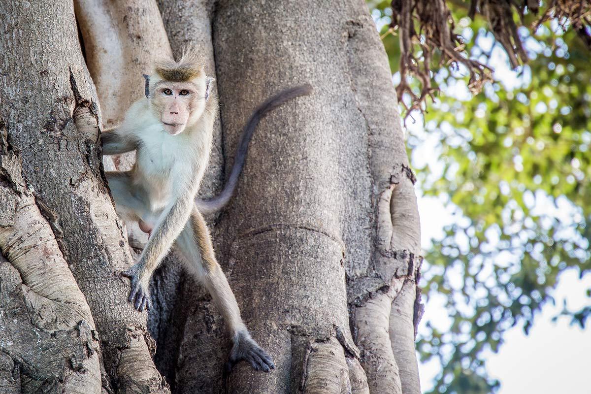 Affe im Udawalawe National Park