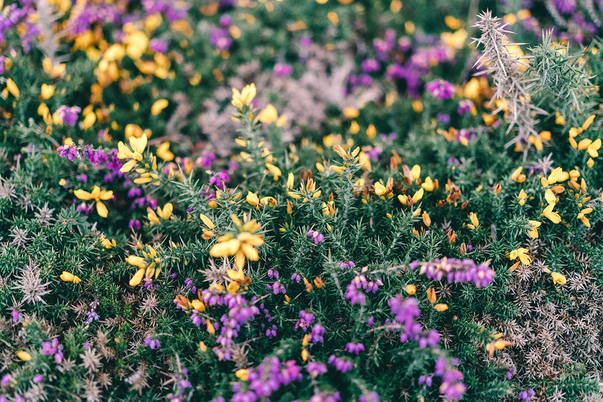Blumen an der Rosa Granitküste