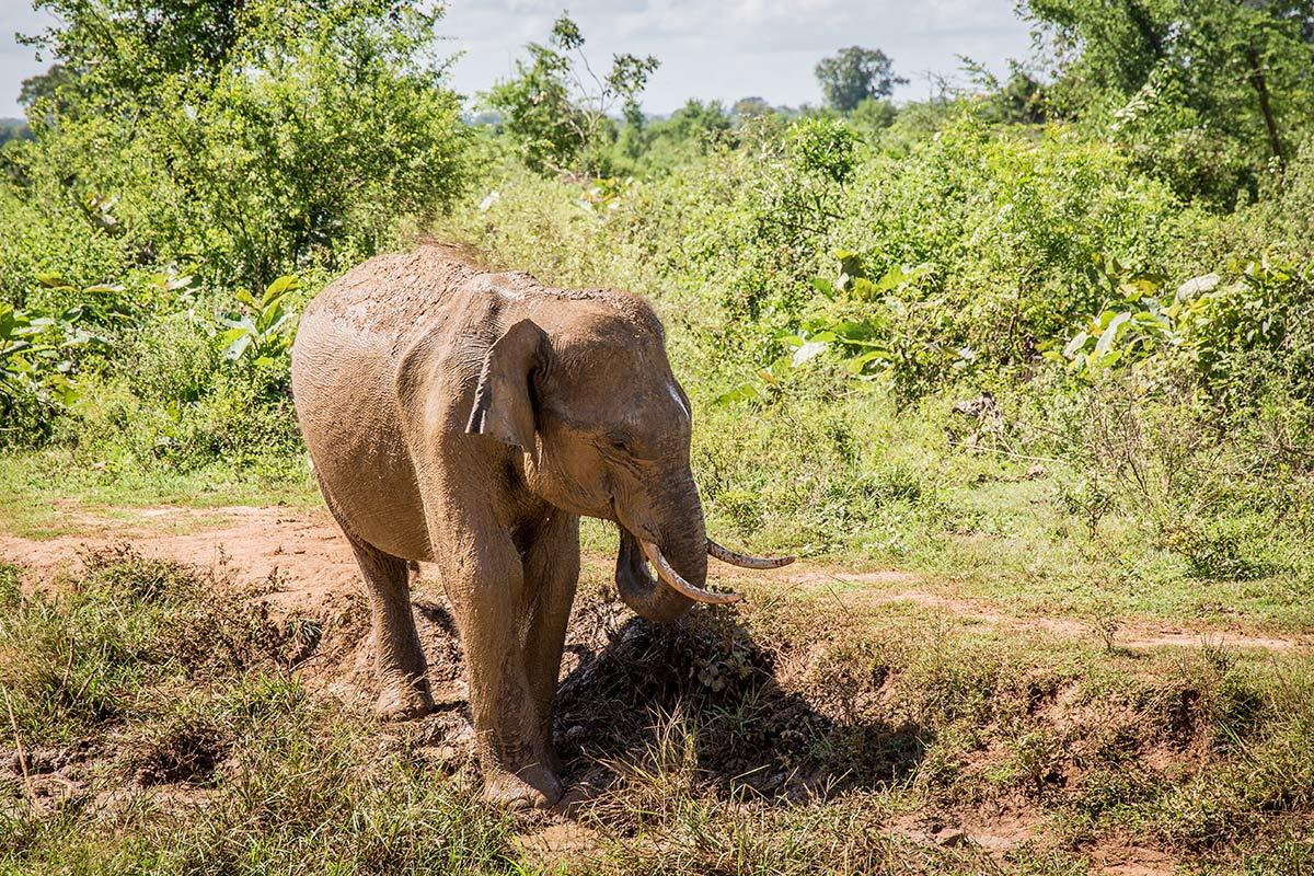 Elefant im Udawalawe National Park