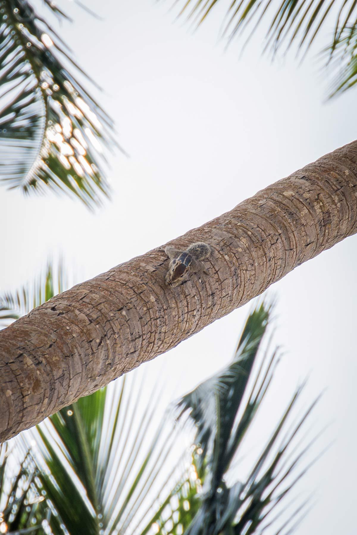 Erdhoernchen im Garten des Anantara Kalutara